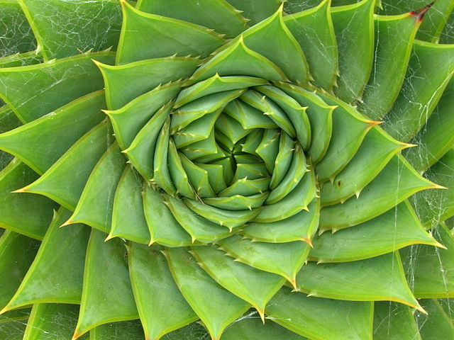 aloe plant with spiral leaves