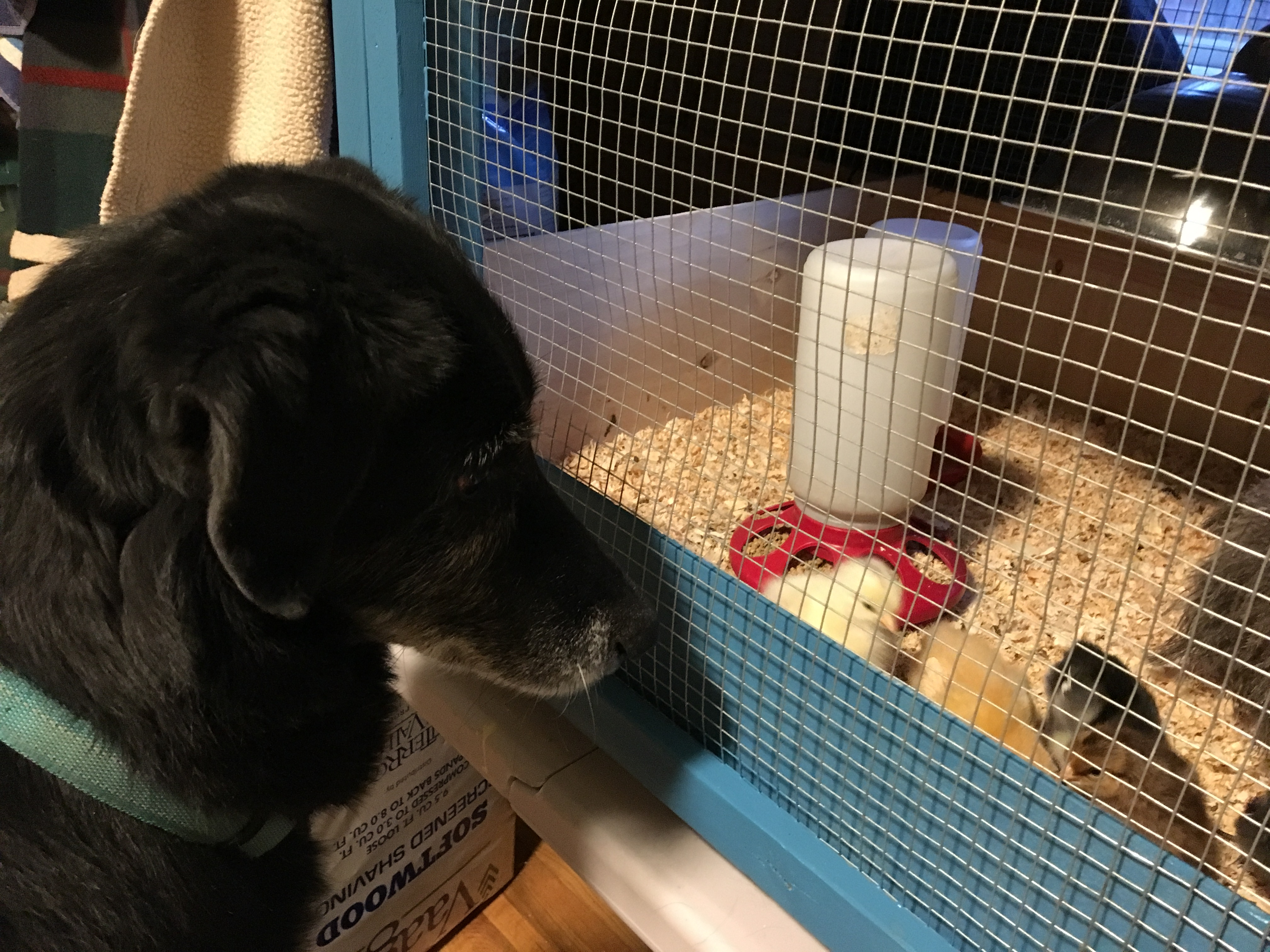 Dog looking over chicks